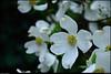"""(29Mar11)  dogwood blooms.  <a href=""""http://carpelumen.smugmug.com/Photography/2010/March10/11394055_8VU6F/1/825307306_JarrW/Medium"""">one year ago.</a>  f/7.1, 1/500s, iso 400."""