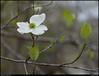 """(31Mar11)  dogwood bloom.  <a href=""""http://carpelumen.smugmug.com/Photography/2010/March10/11394055_8VU6F/1/825309492_WDsQy/Medium"""">one year ago.</a>  f/8, 1/1000s, iso 800."""