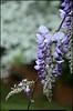 """(27Mar11)  wisteria w/ dogwood background.  <a href=""""http://carpelumen.smugmug.com/Photography/2010/March10/11394055_8VU6F/1/820977037_x9sLN/Medium"""">one year ago.</a>  f/7.1, 1/320s, iso 400."""