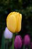 tulips IMG_1042 5-7-2011