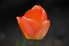 tulips IMG_1040 5-7-2011