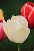 tulip IMG_1047
