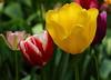 tulips IMG_1321