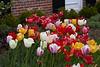 tulips IMG_1054 5-7-2011