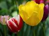 tulips IMG_1320