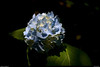 14May11<br /> <br /> hydrangea in the sun's spotlight.<br /> <br /> f/8, 1/500s, iso 160.