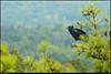 20Sep11<br /> <br /> juvenile turkey vulture.<br /> <br /> f/11, 1/400s, iso 640.
