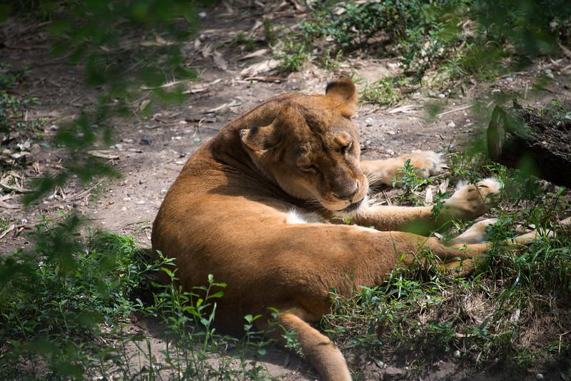 Lion.