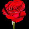 Red Rose (11/6/2012)<br /> The red rose is such a beautiful flower with so much symbolism attached to it. I hope you have a great day,<br /> -Bob