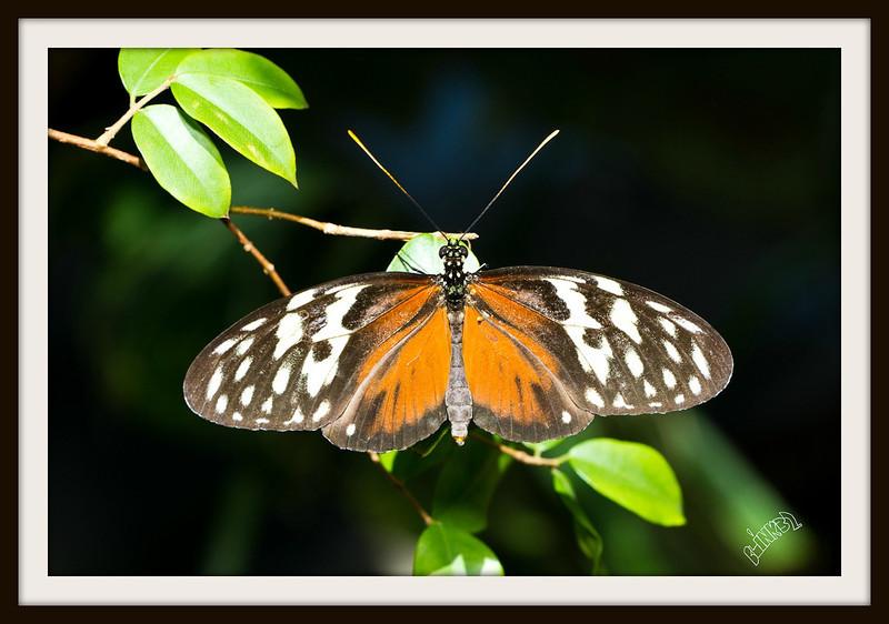 Yolanda the Yellow Tiger Butterfly (9/29/2012)