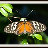 Yolanda the Yellow Tiger Butterfly (9/29/2012)