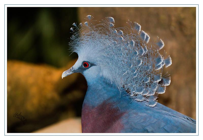 Vicki Victoria Crowned Pigeon (9/28/2012)