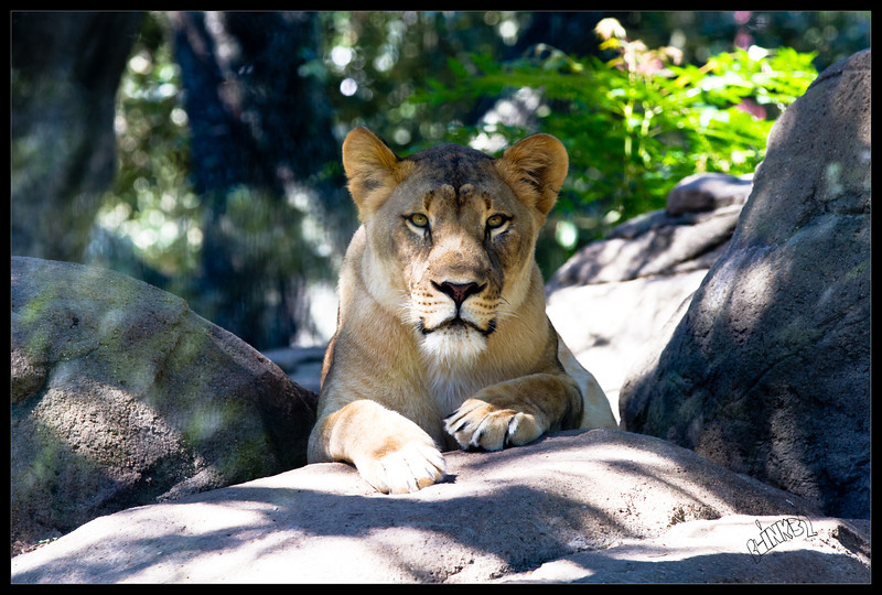 Layla Lion (9/26/2012)
