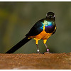 Ginger Gold (Breasted Starling) (9/21/2012)