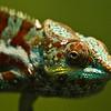 Panther Chameleon (10/24/2012)