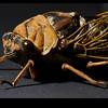 Chester Cicada (9/15/2012)