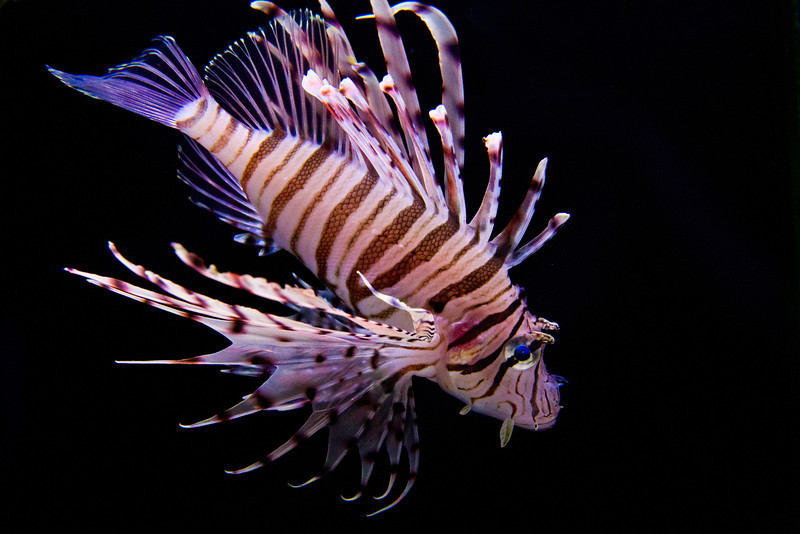 Lion Fish (10/19/2012)<br /> Had a difficult morning as evidenced by my late post. Sorry for another aquarium shot. The venomous lion fish.<br /> Have a great day,<br /> -Bob