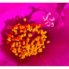"""Flower within a Flower (9/12/2012)<br /> Thank you for all the comments and """"welcome back""""'s yesterday. I'm going to try to break my flower habit tomorrow. LOL<br /> HAGD,<br /> -Bob"""