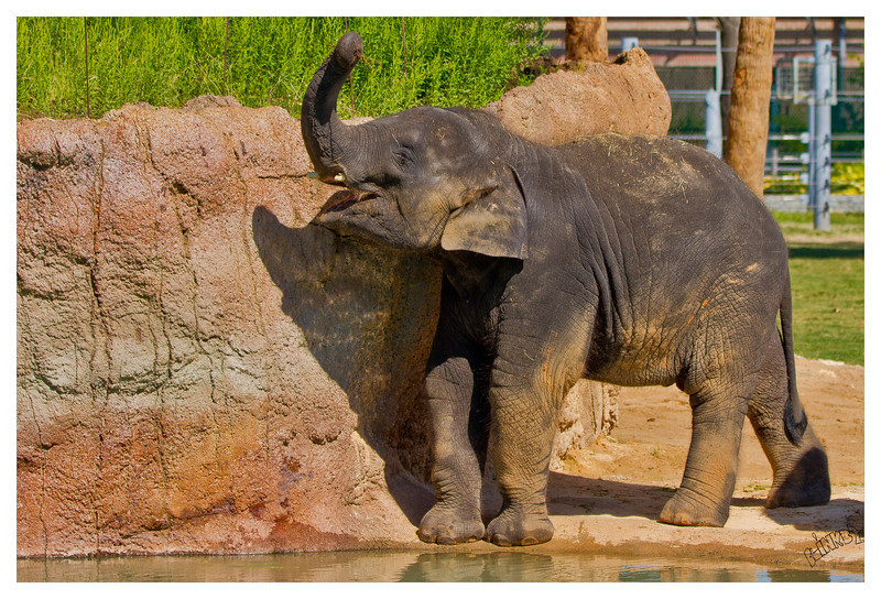Alex the Asian Elephant (10/5/2012)