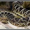 Russell Rattlesnake (9/14/2012)