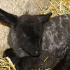 Baby Lamb (3/21/2012)<br /> A Baby lamb just hours old rests by her mother.<br /> -Bob