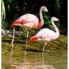 Freddy and Francesca Flamingo (9/25/2012)