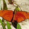Orange Julia Butterfly (3/28/2012)<br /> Hope you have a great Wednesday,<br /> -Bob
