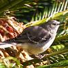 Bird in the Sago Palm (2/7/2012)