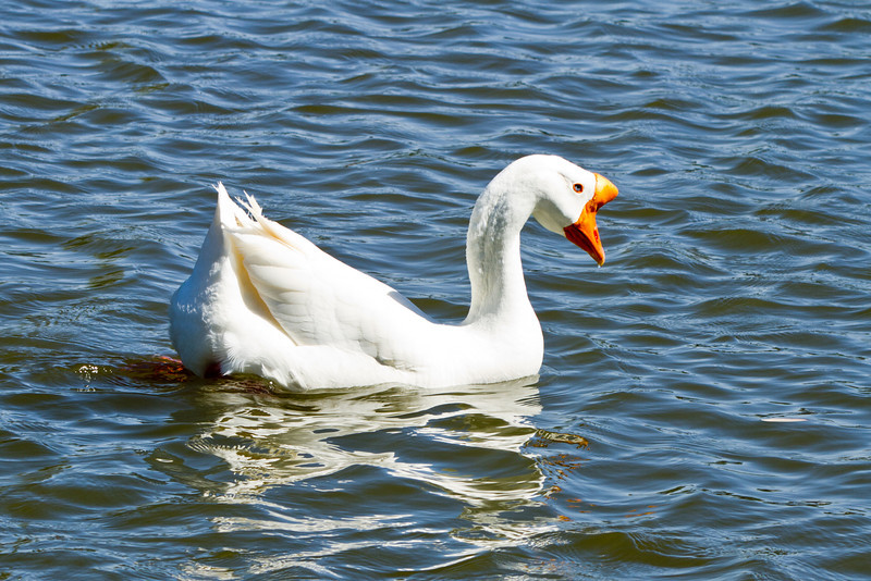White Chinese Goose 2 (3/22/2012)<br /> I really like this Goose's blue eyes. Have a great Thursday.<br /> -Bob