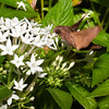 Hummingbird Hawk Moth (10/16/2012)<br /> Went outside last night as it was turning dusk and saw 4 or 5 of these Hummingbird Months flitting about. The make a loud deep buzz as the fly around like hummingbirds.<br /> Have a great day,<br /> -Bob