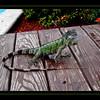 Igor Iguana (9/20/2012)