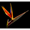 Bird of Paradise Flower (9/11/2012)<br /> The common name of the strelitzia flower is bird of paradise flower, because of a supposed resemblance of its flowers to the bird of paradise. In South Africa (where it is native) it is commonly known as a crane flower.
