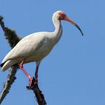 Watch The Birdie The White Ibis