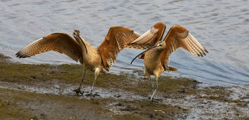 Curlew Jive