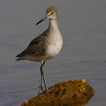 Of Beauty And Grace The Willet