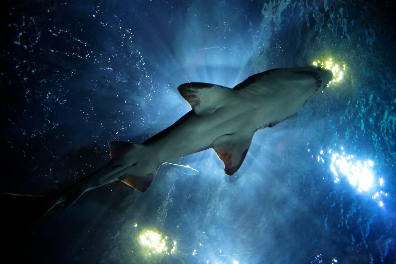 A shark swims overhead at the Aquarium at Moody Gardens, Galveston.