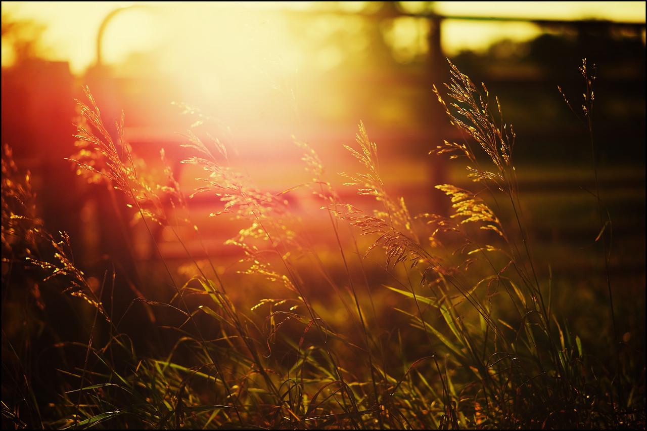 Light breaks over the tall grass in a field in Minnesota.