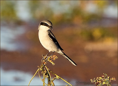 This Loggerhead Shrike was curious enough to stick around until sunset.