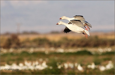 Snow Geese in the desert