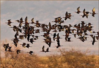 The migrations of the Salton Sea wetlands were a beautiful sight! The Ibis kept coming in for hours, each a huge flock.