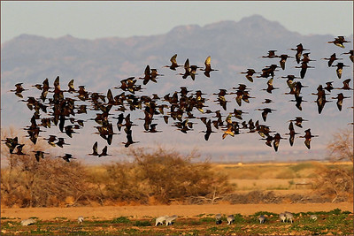 Huge flocks of White Faced Ibis kept streaming in for hours, just inland of the Salton Sea. I have never seen so many! Thats good! A few Cranes grazing the farmland below.