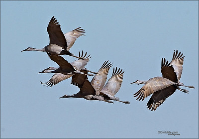 Pleasantly surprised to see a flock of Sandhill Cranes.