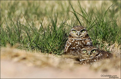 Burrowing Owls, Another threatened species.