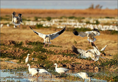 The Snow Geese flocked continuously for hours to the irrigated land.