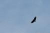 "(17Sep12)  black vulture in flight.  <a href=""http://carpelumen.smugmug.com/Photography/2011/September11/18807220_dgrDff#!i=1484185367&k=MPCXkm4"">one year ago.</a>  f/8, 1/1000s, iso 400."