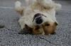 """12Sep12  camp doggie.  <a href=""""http://carpelumen.smugmug.com/Photography/2011/September11/18807220_dgrDff#!i=1477657772&k=xbFfcjg"""">one year ago.</a>  f/8, 1/160s, iso 640."""