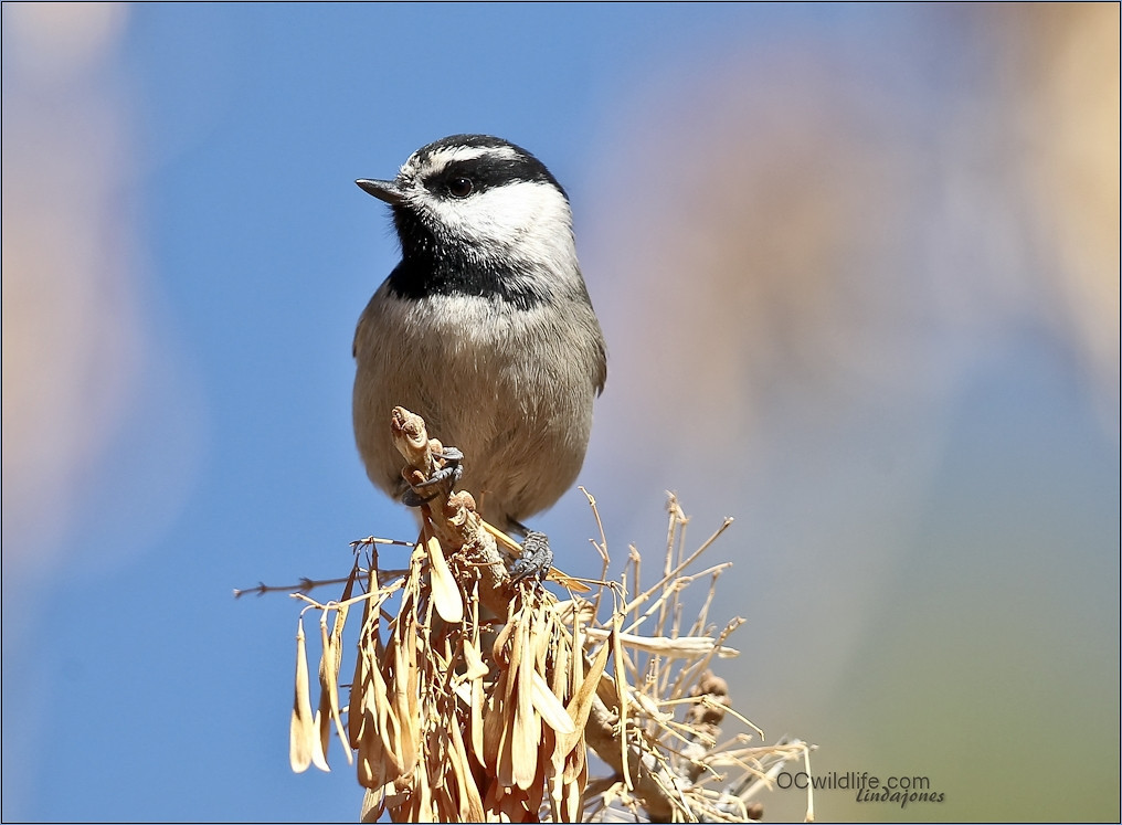 Mountain Chickadee comes down for a visit during the Winter also.