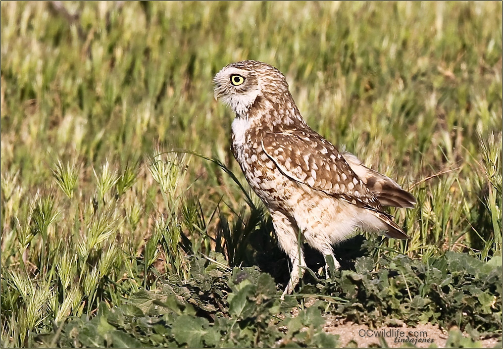 Burrowing Owls of Orange County. Very few left and are endangered in California. Without open fields they really have a tough time surviving.