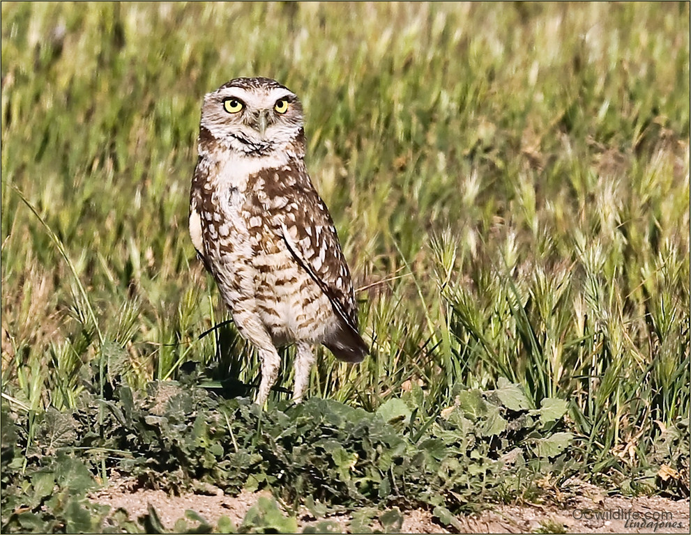 Burrowing Owls are a threatened species, especially in Orange County where the fields are almost gone. Other areas of California are advocating for better city/county planning to insure the survival of this species in it's natural habitat. Not so in Orange County.