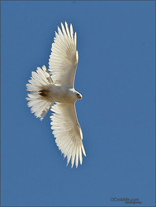 Albino Red Tailed Hawk, I do not see pink in his tail.